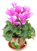 Pink cyclamen in a pot — Stock Photo