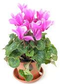 Różowy kwiat w doniczce — Zdjęcie stockowe