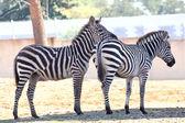 Zebra — Stock fotografie