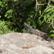 Two lizards on a rock — Stock Photo