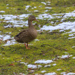 Duck on a green lawn covered with snow — Stock Photo