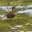 Stock Photo: Duck on green lawn covered with snow