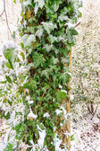 Ivy leaves in the snow — Stock Photo