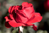 Rose écarlate — Photo