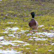 Male duck on a green lawn covered with snow — Stock Photo