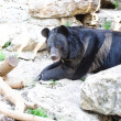Asiatic black bear — Stock Photo #33579779