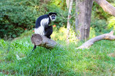 Monkey with long tail — Stock Photo