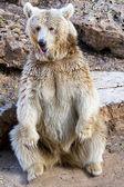Syrian bear — Foto de Stock