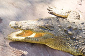 Crocodile lying — Stock Photo