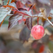 Plum on a tree — Photo