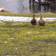 Stock Photo: Two ducks on green lawn covered with snow