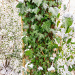 Ivy bush with green leaves in the snow — Foto Stock