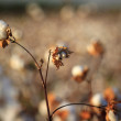 Several cotton buds bloom — Stock Photo