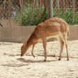Roe in zoo — Stockfoto