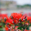 Scarlet rose — Stockfoto #36555577