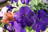Bright petunia — Stock Photo