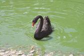Black swan (Cygnus Atratus) — Stock Photo