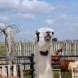 Lama — Stock Photo #36825873