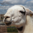 Lama — Stock Photo #37037651