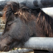 Small cute brown pony portrait — Stock Photo