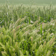 Green wheat — Stock Photo #37373775