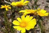 Manzanilla amarilla — Foto de Stock