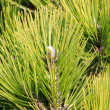 Green pine branches — Stock Photo #37707153