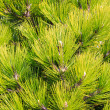 Young green pine branches — Stock Photo #37810547