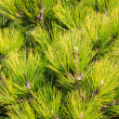 Young pine branches — Stock Photo #38088333