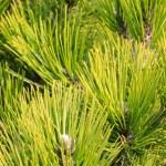 Pine branch — Stock Photo #38472057