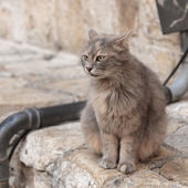 Gray cat says meow on the street in Jerusalem — Stock Photo