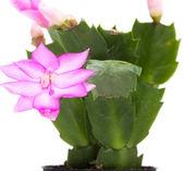 Fleur de schlumbergera — Photo
