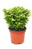 Fresh green selaginella — 图库照片