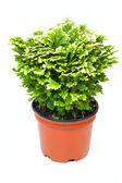 Green selaginella in red pot — Stock Photo