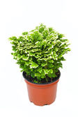 Green selaginella in pot — 图库照片