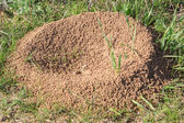Anthill on a grass — Stock Photo