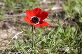 Red anemone — Stock Photo