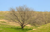 Lonely tree without leaves on a grass — Stock Photo