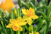Pair of small yellow daffodils — Stock Photo