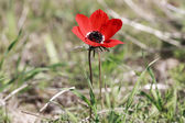 Dark red anemone — Stock Photo