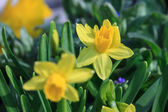Pair of small yellow daffodils in small DOF — Stock Photo