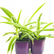 Three lilac pots with seedlings of chlorophytum — Stock Photo