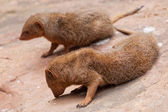 Pair of mongoose — Stock Photo