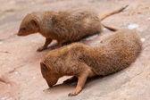 Pair of mongoose — Stock Photo