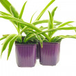 Pots with chlorophytum — Stock Photo