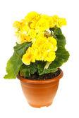 Yellow begonia — Stock Photo