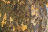 Dark sycamore bark — Stock Photo