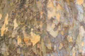 Light sycamore bark — 图库照片