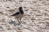 Cute hooded crow — Stock Photo
