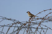Wild sparrow with food in beak on a barb wire — Stok fotoğraf